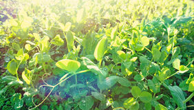 Green pea crops in growth Stock Image