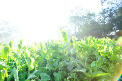Green pea crops in growth Royalty Free Stock Image