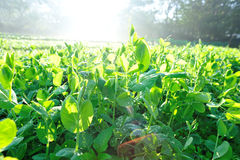Green pea crops in growth Stock Photo