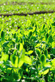 Green pea crops in growth Stock Photography