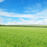Green pea field and  sky Stock Image