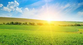 Green pea field and sunrise in the blue sky. Wide photo. stock image