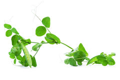 Green pea  isolated on white background Stock Photography