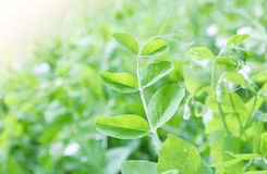 Green pea leaf Stock Photography