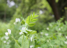 Green pea leaf Royalty Free Stock Images