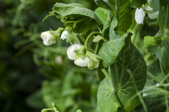 Green pea plant. Blossom of pea plant in a garden royalty free stock photo