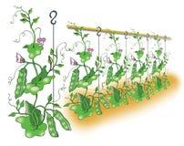 Green pea planting illustration. Green pea planting  illustration Stock Photo