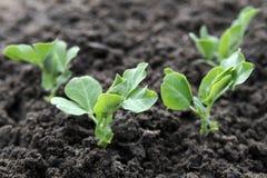 Free Green Pea Plants Royalty Free Stock Photos - 24229068