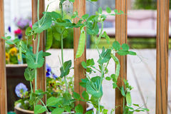 Green pea plants growing in a garden Stock Photos