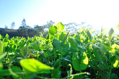 Green pea plants in growth Stock Images