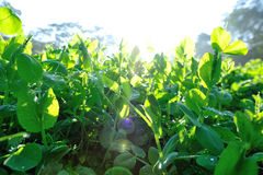 Green pea plants in growth Royalty Free Stock Photography