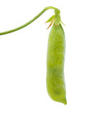 Green pea pod Stock Photography