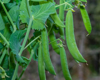 Green pea pods on a pea plant Royalty Free Stock Photo