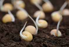 Green pea seedling Royalty Free Stock Photo