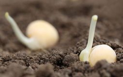 Green pea seedling in fertile soil Stock Photos