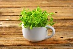 Green pea shoots Royalty Free Stock Photography
