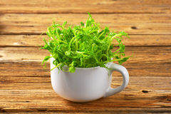 Green pea shoots Stock Image