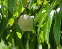 Green peach hanging on a small branch with leaves Stock Photo