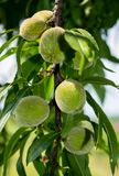 Green peach, unripe, at the beginning of the summer royalty free stock photography