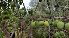 Green peaches. Peach tree carrying green unripe peaches in bunches Stock Photos