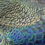 Green peacock feathers royalty free stock photo