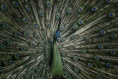 Green peacock. A male peacock showing it`s feather to attract a female Stock Photos