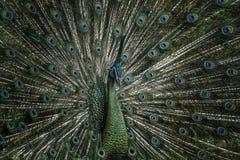 Green peacock stock photos