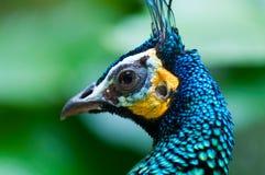 Green Peacock Royalty Free Stock Photos
