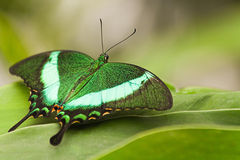 Green Peacock Swallowtail Royalty Free Stock Image
