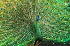 Green peacock with very beautiful tail and fur stock photography