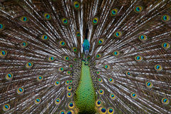 Green Peafowl 01 Royalty Free Stock Photography