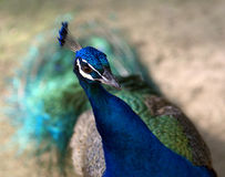 Green Peafowl Royalty Free Stock Photos