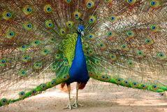 The green peafowl Stock Photo