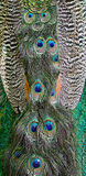 Green Peafowl feather Royalty Free Stock Photo