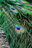 Green Peafowl feather Stock Photos
