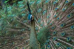 Green peacock show its feather. Green peafowl are large birds, amongst the largest living galliforms in terms of overall size, though rather lighter-bodied than stock image