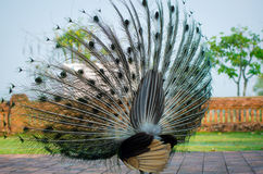 Free Green Peafowl Of Thailand Royalty Free Stock Photography - 58616197