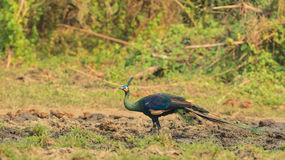 A green peafowl standing alone in the field Royalty Free Stock Images