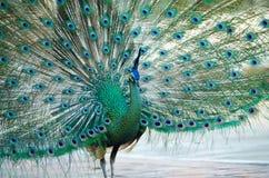 Green Peafowl of Thailand Stock Photo