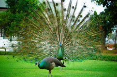 Green Peafowl of Thailand Stock Image