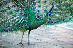 Green Peafowl of Thailand Stock Photography