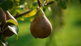 Green pear on the fruit plant biologic natural. Photo made in a biologic orchard stock images
