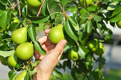 Green pear and hand Royalty Free Stock Images