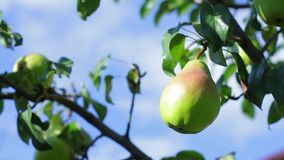 Green pear on tree branch. Leaves moving in the wind. Fruit garden in summertime. Absolutely clean environment stock video footage