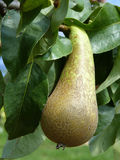 Green Pear on the Tree. Close up of green pear Conference on the tree branch Royalty Free Stock Photos
