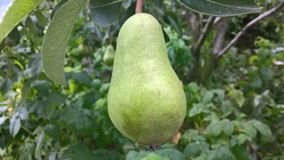 Green Pear in the tree Stock Images