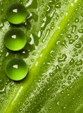 Green pearls on wet leaf. Green pearls on shiny wet leaf in vivid light Stock Photography