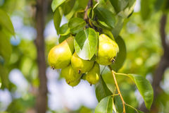 Free Green Pears Royalty Free Stock Images - 31650519