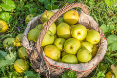 Green pears in the basket Royalty Free Stock Images