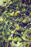 Green pears. On a branch royalty free stock image